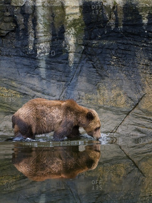 A male Grizzly bear (Ursus Arctos) drinks from the fresh water in the estuary at the Khutzeymateen Grizzly bear sanctuary, north of Prince Rupert, British Columbia, Canada