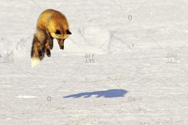 Fox leaping into the air as it is hunting rodents, Yukon Territory, Canada.