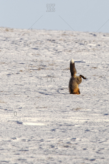 Fox (Vulpes vulpes) landing head first into snow as it hunts rodents along the roadways of the Yukon Territory, Canada.