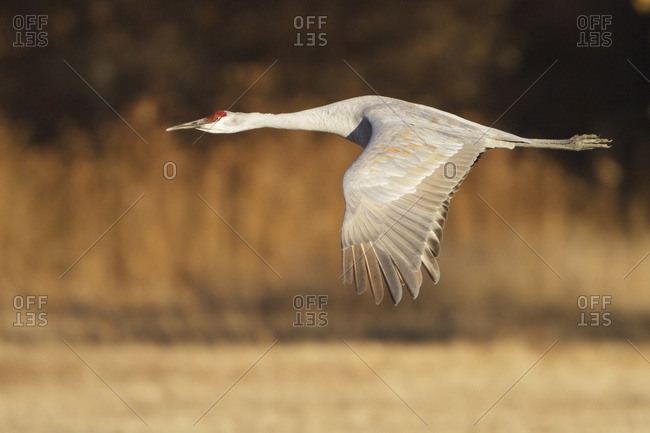 Sand hill Crane (Grus canadensis) flying at the Bosque del Apache wildlife refuge near Socorro, New Mexico, United States of America.