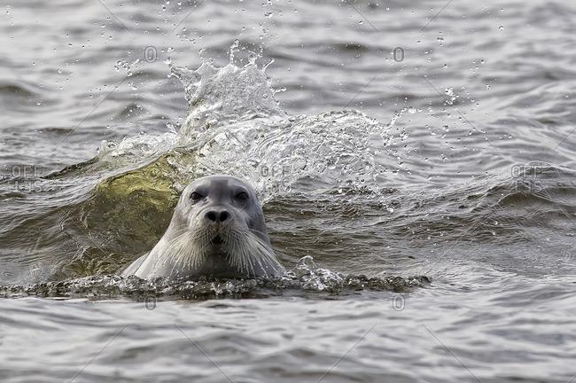 Bearded seal (Erignathus barbatus), Hudson's Bay, Manitoba.