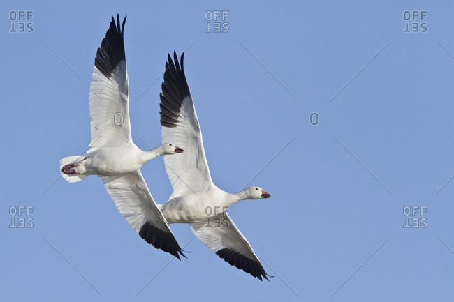 Snow Goose (Chen caerulescens) flying at the Bosque del Apache wildlife refuge near Socorro, New Mexico, United States of America.