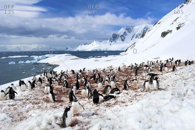 Gentoo penguins (Pygoscelis papua) colonies, Cuverville Island, Antarctic Peninsula, Antarctica