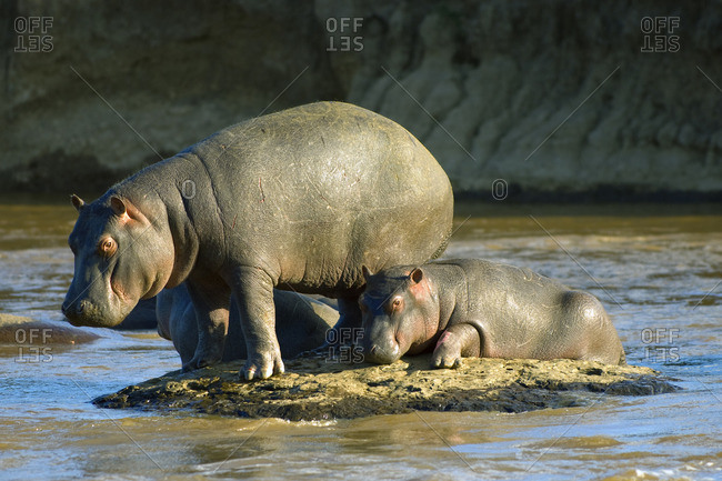 Hippopatamus (Hippopatamus amphibius) mother and calf, Masai Mara Reserve, Kenya, East Africa