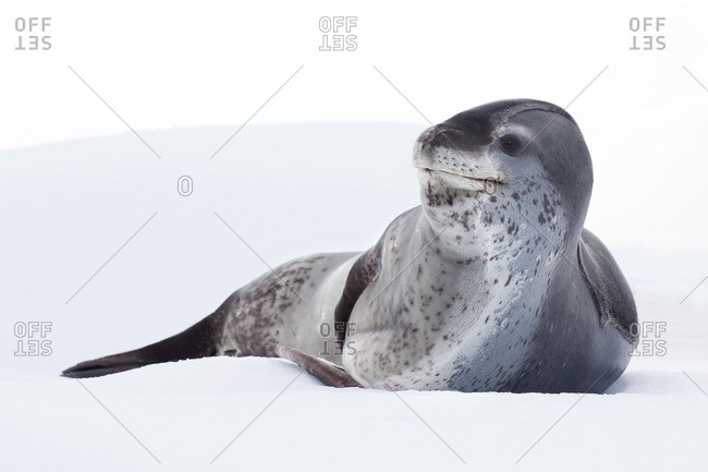 Female leopard seal (Hydrurga leptonyx), resting on pack ice, Pleneau Island, Antarctic Peninsula, Antarctica