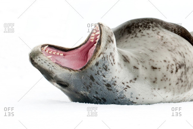Female leopard seal (Hydrurga leptonyx), threat display, Pleneau Island, Antarctic Peninsula, Antarctica