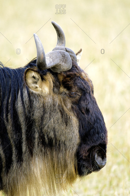 Adult common wildebeest (Connochaetes taurinus), Masai Mara Reserve, Kenya, East Africa