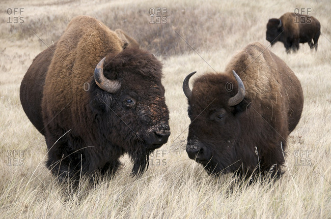 American bison bull and cow (Bison bison), Wind Cave National Park, South Dakota, United States of America.