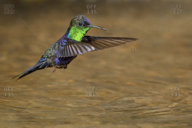 Violet-crowned Woodnymph (Thalurania columbica) flying and bathing in a small stream in Costa Rica.