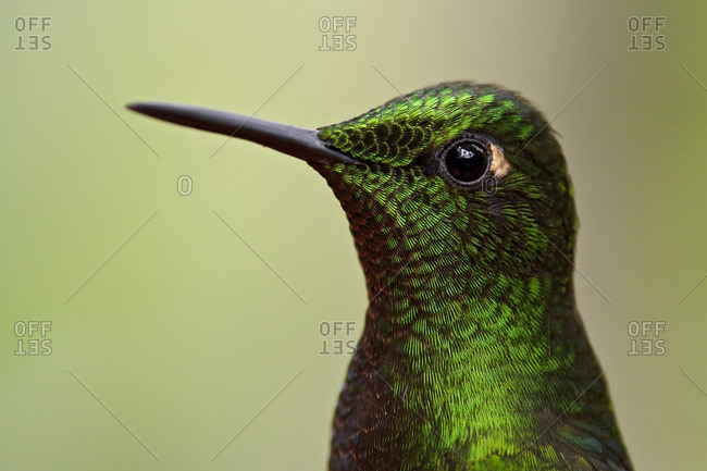 Buff-tailed Coronet (Boissonneaua flavescens) perched on a branch in Ecuador.
