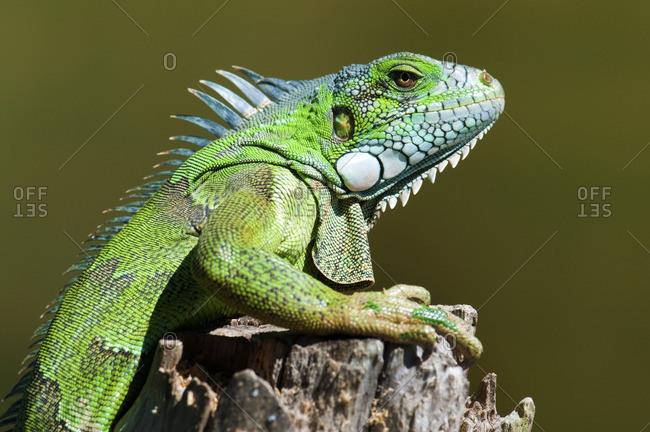 Adult green (common) iguana (Iguana iguana), Pantanal wetlands, Southwestern Brazil, South America