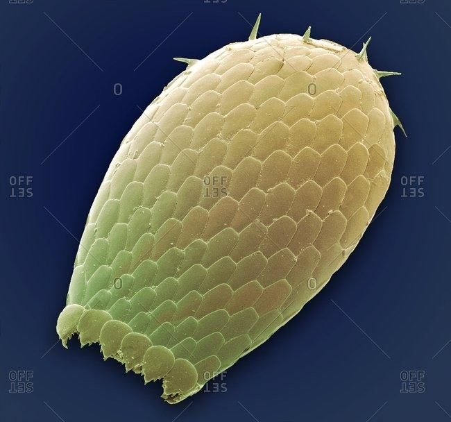 Colored scanning electron micrograph (SEM) of a shell from a Euglypha sp