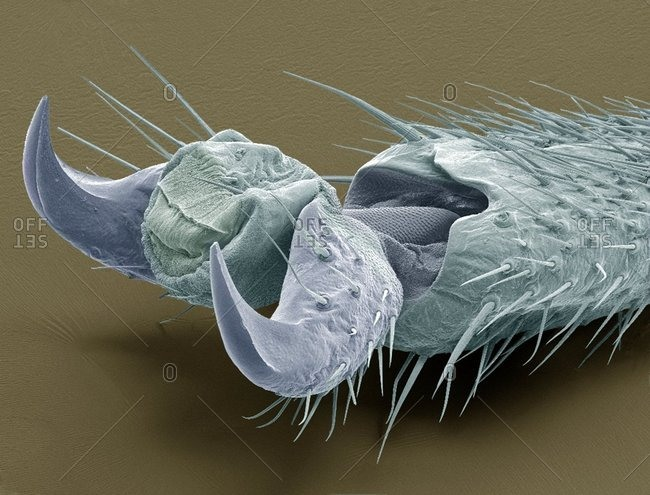 Stick insect foot, colored scanning electron micrograph (SEM) The large claws are used for climbing
