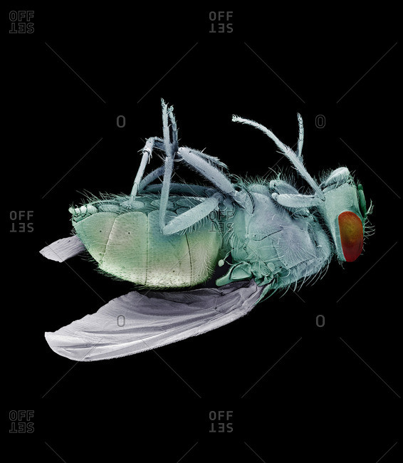 Dead bluebottle fly (Calliphora vomitoria), colored scanning electron micrograph (SEM)