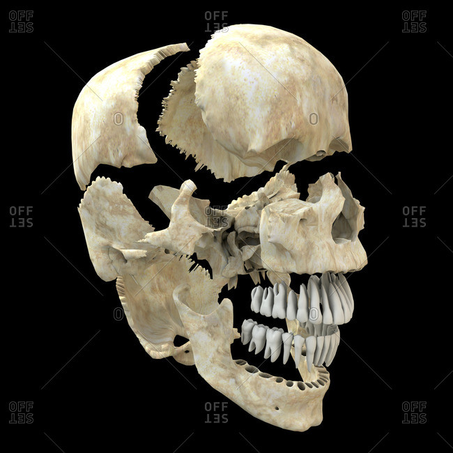 Computer artwork of a view of a disarticulated human skull