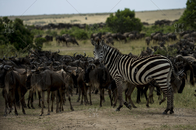A Zebra, Equus quagga, standing with a herd of wildebeests.