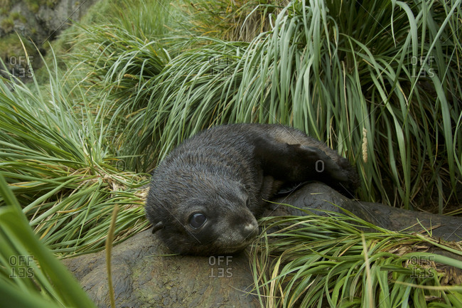 An Antarctic Fur Seal pup, Arctocephalus gazella, resting on a rock.