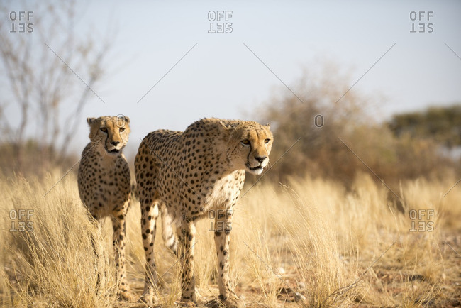 Cheetahs, Acinonyx jubatus, on the plains in Southern Namibia.