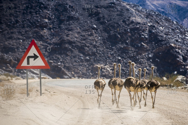 Ostriches, Struthio camelus, run past a sign on a dusty road in southern Namibia near Ai-Ais.