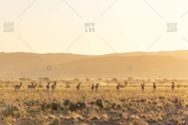A herd of springbok, Antidorcas marsupialis, on the plains of Southern Namibia.