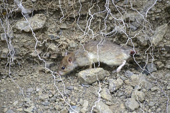 Close-up of an invasive species of rat on Isla de la Plata.