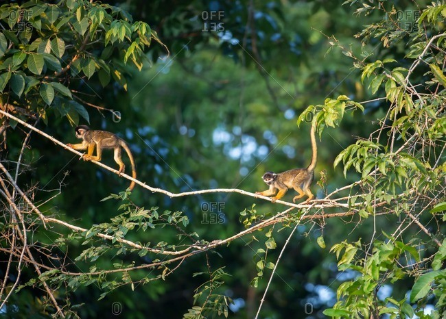 Black Squirrel Monkeys, Saimiri vanzolinii on top of tree in Mamiraua Sustainable Development Reserve.