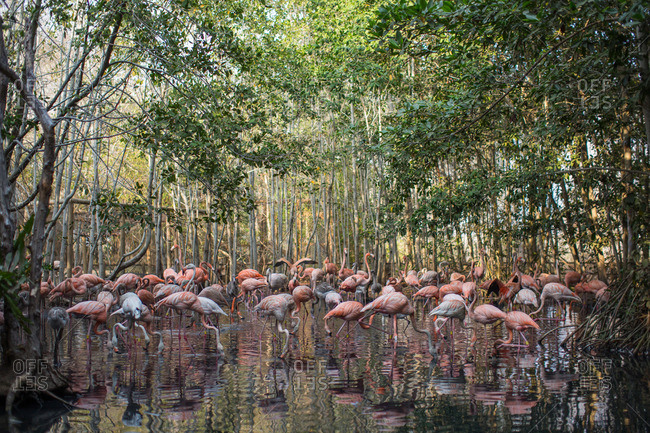 Flamingos foraging in a pool.