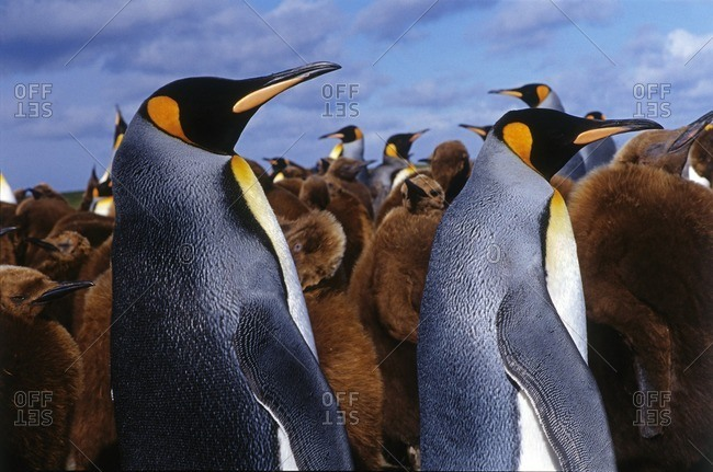 King Penguins with brown feathered chicks on the Kerguelen Islands in the Southern Indian Ocean.