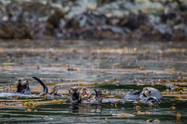 Sea Otters, Enhydra lutris, wrapped up in a Kelp.