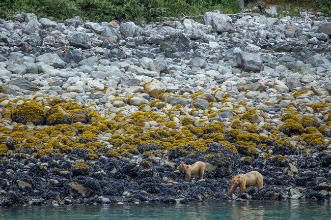 A coastal Brown bear, Ursus arctos horribilis, female and cub forage for Mussels on the shoreline.