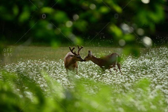 Black-tailed deer, Odocoileus hemionus, feeding in meadow of daisies.