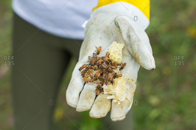 Organic honey combs with honey bees in the hand of bee keeper.
