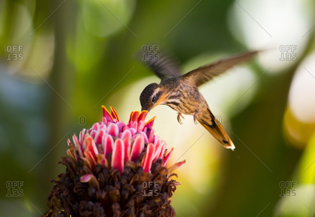A Saw-billed hermit bird, Ramphodon naevius, feeds from a Red ginger, Alpinia purpurata, flower.