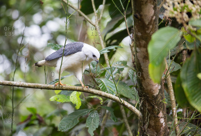 A White-necked hawk, Buteogallus lacernulatus, perches on a tree branch in the Atlantic rainforest.