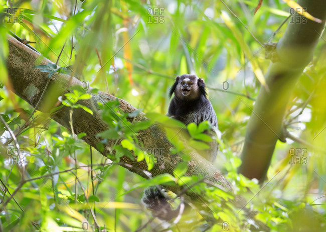 A Common marmoset, Callithrix jacchus, rests on a tree branch in the Atlantic rainforest.