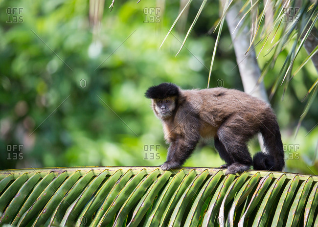 Tufted capuchins, Cebus apella, on a palm tree in Brazil's Serra do Mar State Park.