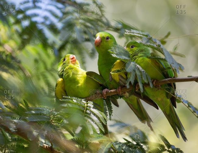 A mother Plain parakeet, Brotogeris tirica, feeds her offspring in the Atlantic rainforest.