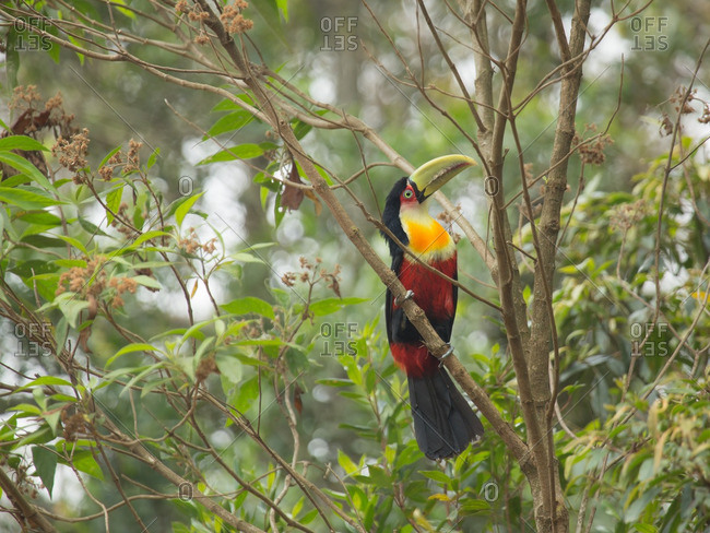 A Green-billed toucan, Ramphastos dicolorus, perching on a tree branch in Sao Paulo state, Brazil.