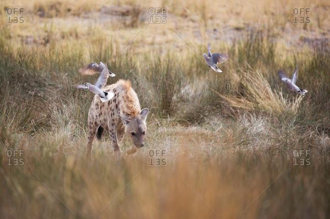 A Spotted hyena, Crocuta crocuta, walks through the long grasses in Namibia's Etosha National Park.