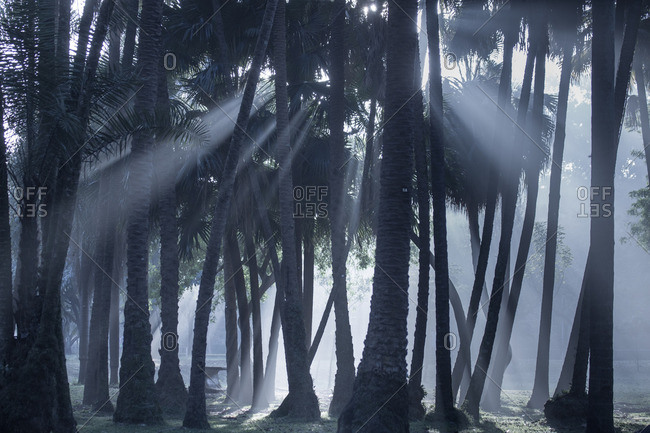 Early morning mist and palm trees in Sao Paulo's Ibirapuera park.