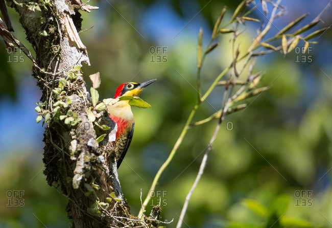 A male Yellow-fronted woodpecker, Melanerpes flavifrons, in the Atlantic rainforest.