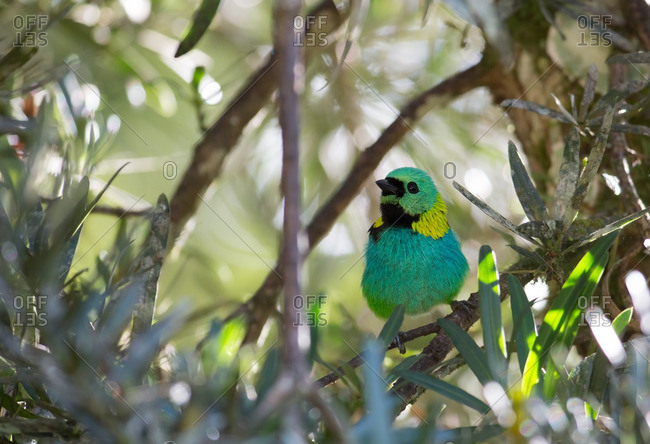 A Green-headed tanager, Tangara seledon, in the Atlantic rainforest, Ubatuba, Brazil.