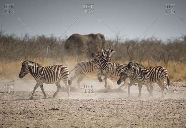 Zebras, Equus zebra hartmannae, battle in the dusty pan of Namibia's Etosha National Park.
