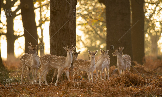 A large group of Fallow deer, Dama dama, in London's Richmond Park.