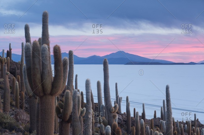 Cacti on Isla Incahuasi in the middle of the Salar de Uyuni in Bolivia.