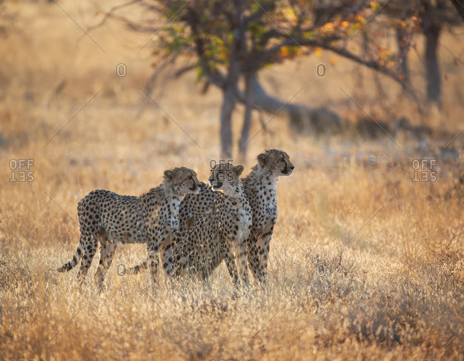 A group of Cheetah, Acinonyx jubatus, on the lookout for a nearby leopard in Namibia's Etosha National Park.