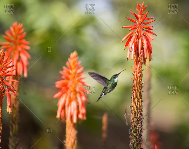 A White-throated hummingbird, Leucochloris albicollis, feeds from flower in Ibirapuera park.