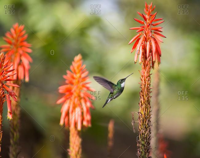 A White-throated hummingbird, Leucochloris albicollis, feeds from flower in Ibirapuera park.