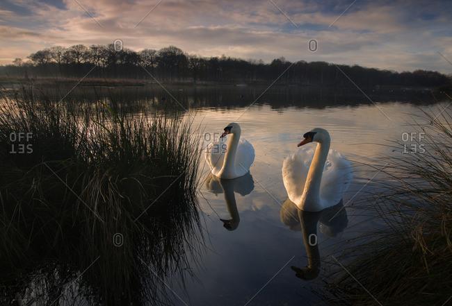Two Mute Swan, Cygnus olor, on a lake in London's Richmond Park.