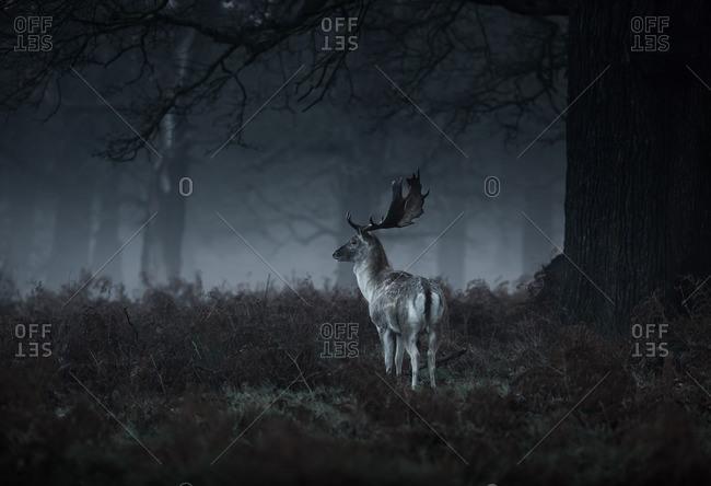 Male Red deer stag, Cervus elaphus, in London's Richmond Park.